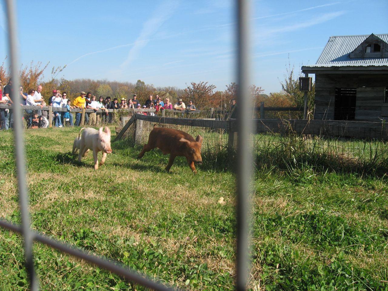 Pig Races!